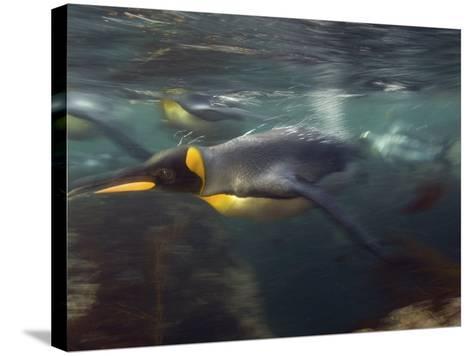 King Penguin, Underwater, Sub Antarctic-Tobias Bernhard-Stretched Canvas Print