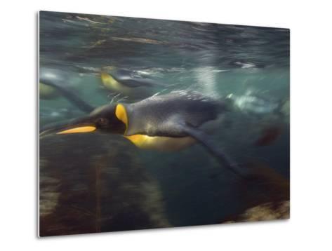 King Penguin, Underwater, Sub Antarctic-Tobias Bernhard-Metal Print