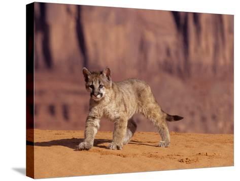 Mountain Lion, Portrait of Young Cub, USA-Daniel J. Cox-Stretched Canvas Print