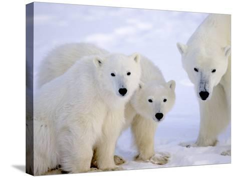 Polar Bears, Mother and Young, Manitoba, Canada-Daniel J. Cox-Stretched Canvas Print
