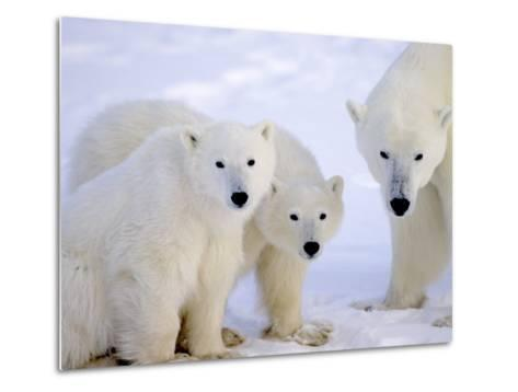 Polar Bears, Mother and Young, Manitoba, Canada-Daniel J. Cox-Metal Print