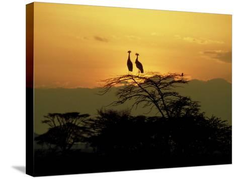 Crowned Cranes, 2 on Tree at Sunset, Tanzania-Victoria Stone & Mark Deeble-Stretched Canvas Print