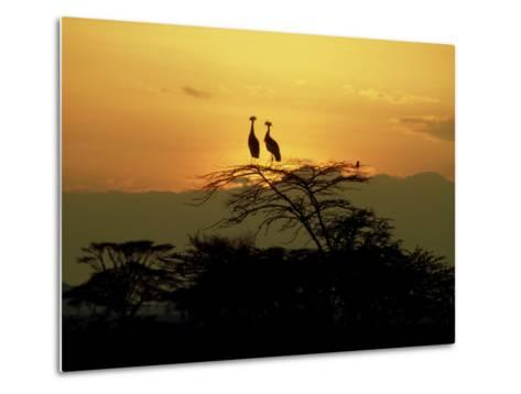 Crowned Cranes, 2 on Tree at Sunset, Tanzania-Victoria Stone & Mark Deeble-Metal Print