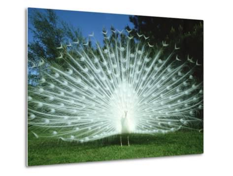 Peacock, Pavo Cristatus, White Form Displaying Tail Feathers-Mark Hamblin-Metal Print