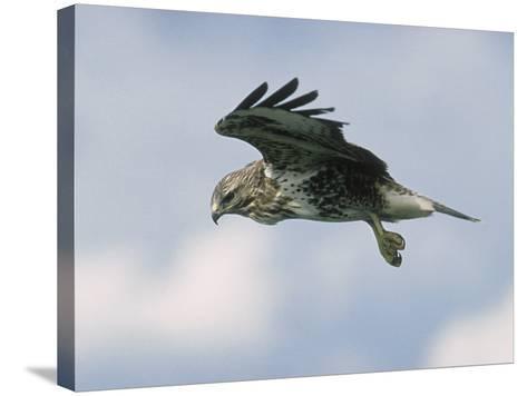 Buzzard in Flight, Wales, UK-Mark Hamblin-Stretched Canvas Print