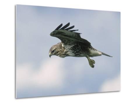 Buzzard in Flight, Wales, UK-Mark Hamblin-Metal Print