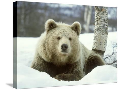 European Brown Bear, Ursus Arctos Male Sat on Snow Norway-Mark Hamblin-Stretched Canvas Print