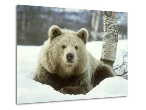 European Brown Bear, Ursus Arctos Male Sat on Snow Norway-Mark Hamblin-Metal Print