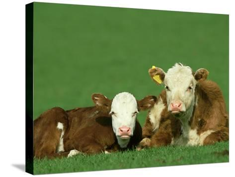 Hereford, Bos Taurus 2 Young Calves Lying in Meadow Yorkshire, UK-Mark Hamblin-Stretched Canvas Print