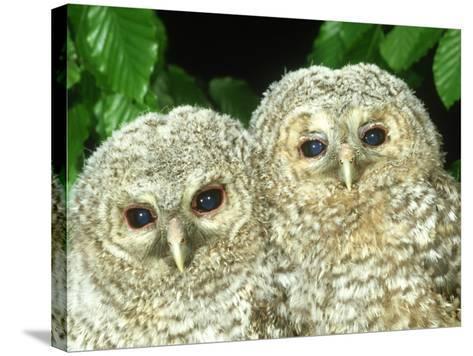 Tawny Owl, Strix Aluco Chicks, Close-up Portraits W. Yorks, UK-Mark Hamblin-Stretched Canvas Print