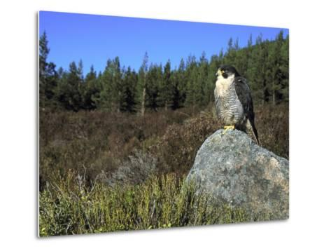 Peregrine Falcon, Adult Male on Rock Showing Moorland Habitat, Scotland-Mark Hamblin-Metal Print