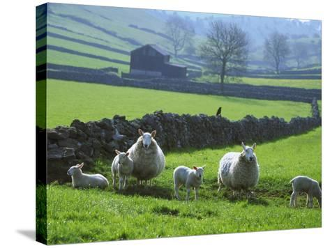 Sheep Ovis Aries-Mark Hamblin-Stretched Canvas Print