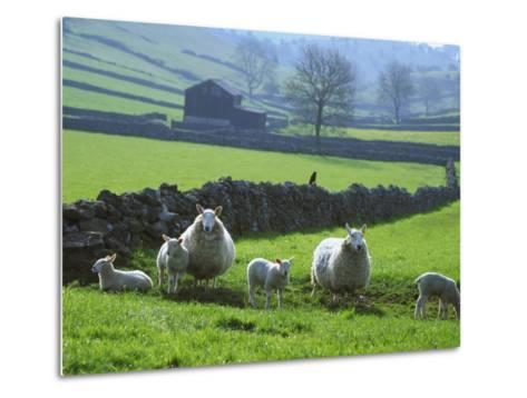 Sheep Ovis Aries-Mark Hamblin-Metal Print
