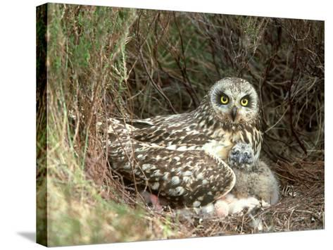 Short-Eared Owl at Nest with Chicks in Heather, UK-Mark Hamblin-Stretched Canvas Print
