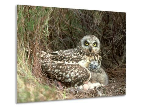 Short-Eared Owl at Nest with Chicks in Heather, UK-Mark Hamblin-Metal Print