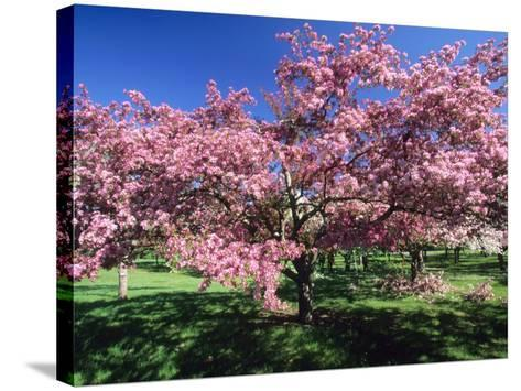 Prunus Tree, Montreal, Quebec, Canada-Philippe Henry-Stretched Canvas Print