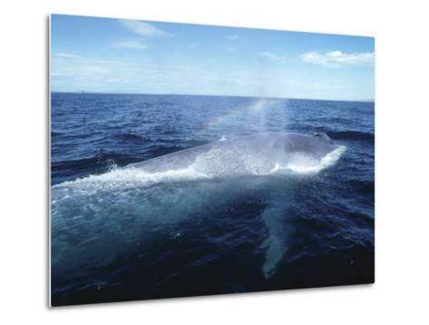 Blue Whale, Blowing, Sea of Cortez-Mark Jones-Metal Print