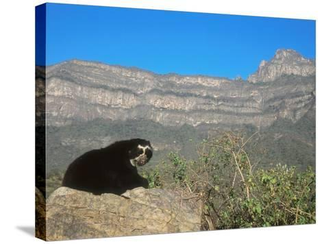 Spectacled Bear Male in Dry Forest Habitat, Peru-Mark Jones-Stretched Canvas Print