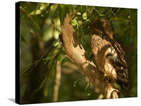 Brown Fish Owl, Owl Perched on Branch in Warm Dappled Light, Madhya Pradesh, India-Elliot Neep-Stretched Canvas Print