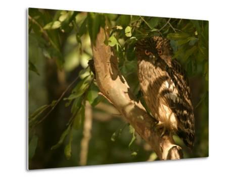 Brown Fish Owl, Owl Perched on Branch in Warm Dappled Light, Madhya Pradesh, India-Elliot Neep-Metal Print