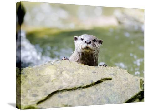 Asian Short Clawed Otter, Curious Otter Peering Over Rock, Earsham, UK-Elliot Neep-Stretched Canvas Print
