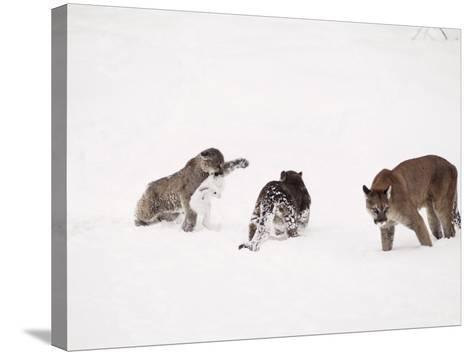 Mountain Lion, with Cubs in Snow, USA-Mary Plage-Stretched Canvas Print