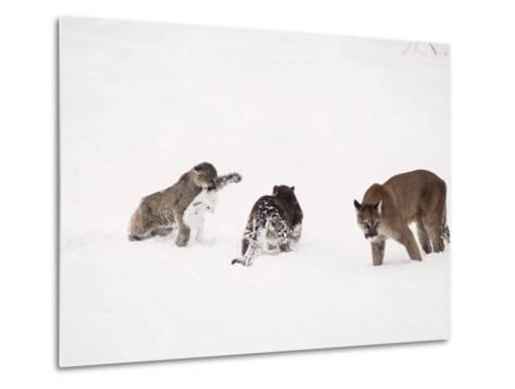 Mountain Lion, with Cubs in Snow, USA-Mary Plage-Metal Print