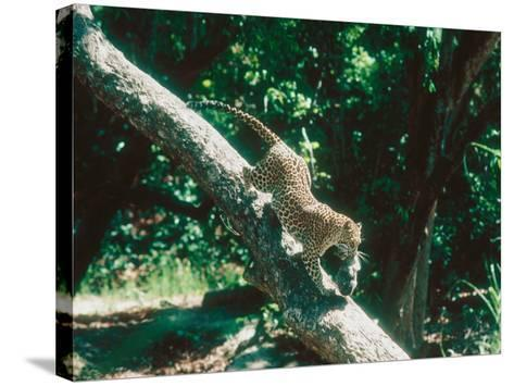 Leopard, Carrying 4-Week Old Cub Down Tree Over River, India-Mary Plage-Stretched Canvas Print