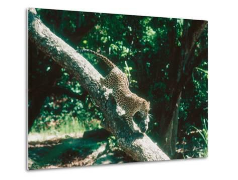 Leopard, Carrying 4-Week Old Cub Down Tree Over River, India-Mary Plage-Metal Print