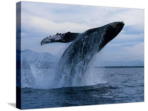 Humpback Whale, Breaching, Puerto Vallarta-Gerard Soury-Stretched Canvas Print