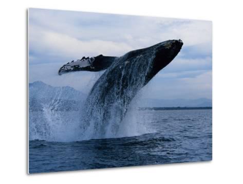 Humpback Whale, Breaching, Puerto Vallarta-Gerard Soury-Metal Print