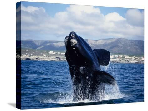 Southern Right Whale, Breaching, S Africa-Gerard Soury-Stretched Canvas Print