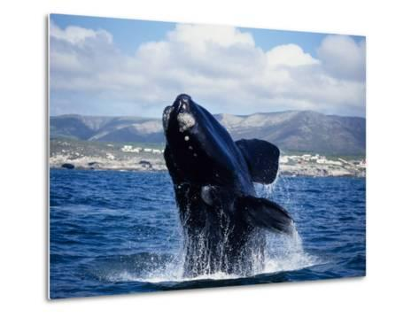 Southern Right Whale, Breaching, S Africa-Gerard Soury-Metal Print