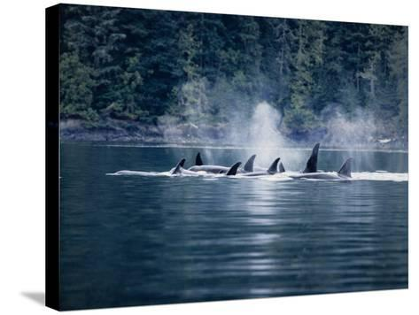 Killer Whale, Pod at Surface, BC, Canada-Gerard Soury-Stretched Canvas Print