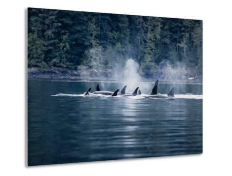 Killer Whale, Pod at Surface, BC, Canada-Gerard Soury-Metal Print
