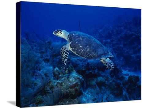 Hawksbill Turtle, Swimming, Caribbean-Gerard Soury-Stretched Canvas Print