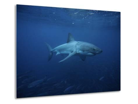 Great White Shark, Swimming, South Australia-Gerard Soury-Metal Print