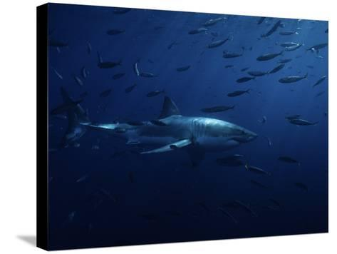 Great White Shark, Swimming, Pacific-Gerard Soury-Stretched Canvas Print