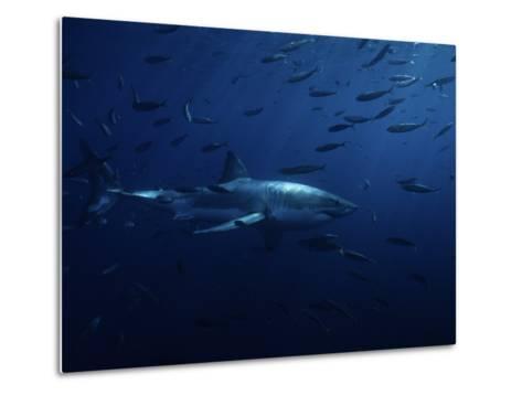Great White Shark, Swimming, Pacific-Gerard Soury-Metal Print