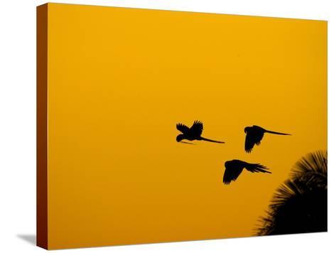 Hyacinth Macaws, Parrots in Flight at Sunrise, Brazil-Roy Toft-Stretched Canvas Print