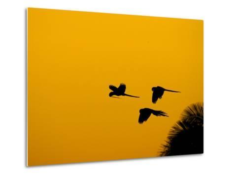 Hyacinth Macaws, Parrots in Flight at Sunrise, Brazil-Roy Toft-Metal Print
