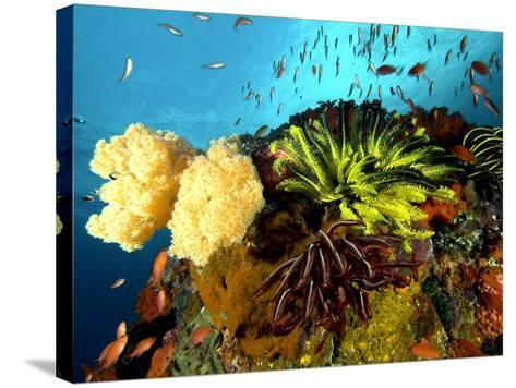 Reef with Crinoids, Komodo, Indonesia-Mark Webster-Stretched Canvas Print