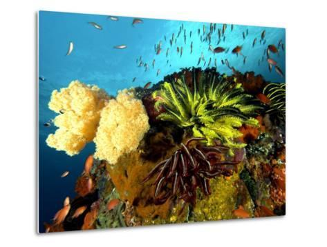 Reef with Crinoids, Komodo, Indonesia-Mark Webster-Metal Print