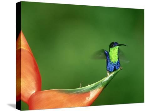 Violet-Crowned Woodnymph, Costa Rica-G^ W^ Willis-Stretched Canvas Print