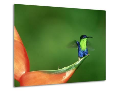 Violet-Crowned Woodnymph, Costa Rica-G^ W^ Willis-Metal Print