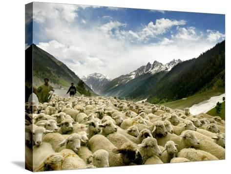 Gujjar Nomadic Shepherds Herd Their Sheep on the Outskirts of Srinagar, India--Stretched Canvas Print