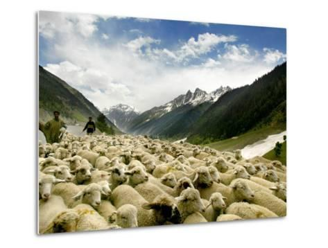 Gujjar Nomadic Shepherds Herd Their Sheep on the Outskirts of Srinagar, India--Metal Print
