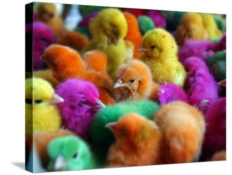 Artificially Colored Chicks Crowd Together--Stretched Canvas Print