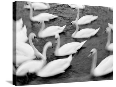 Swans on the Reuss River, Lucerne, Switzerland-Walter Bibikow-Stretched Canvas Print