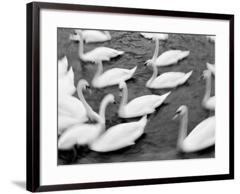 Swans on the Reuss River, Lucerne, Switzerland-Walter Bibikow-Framed Art Print